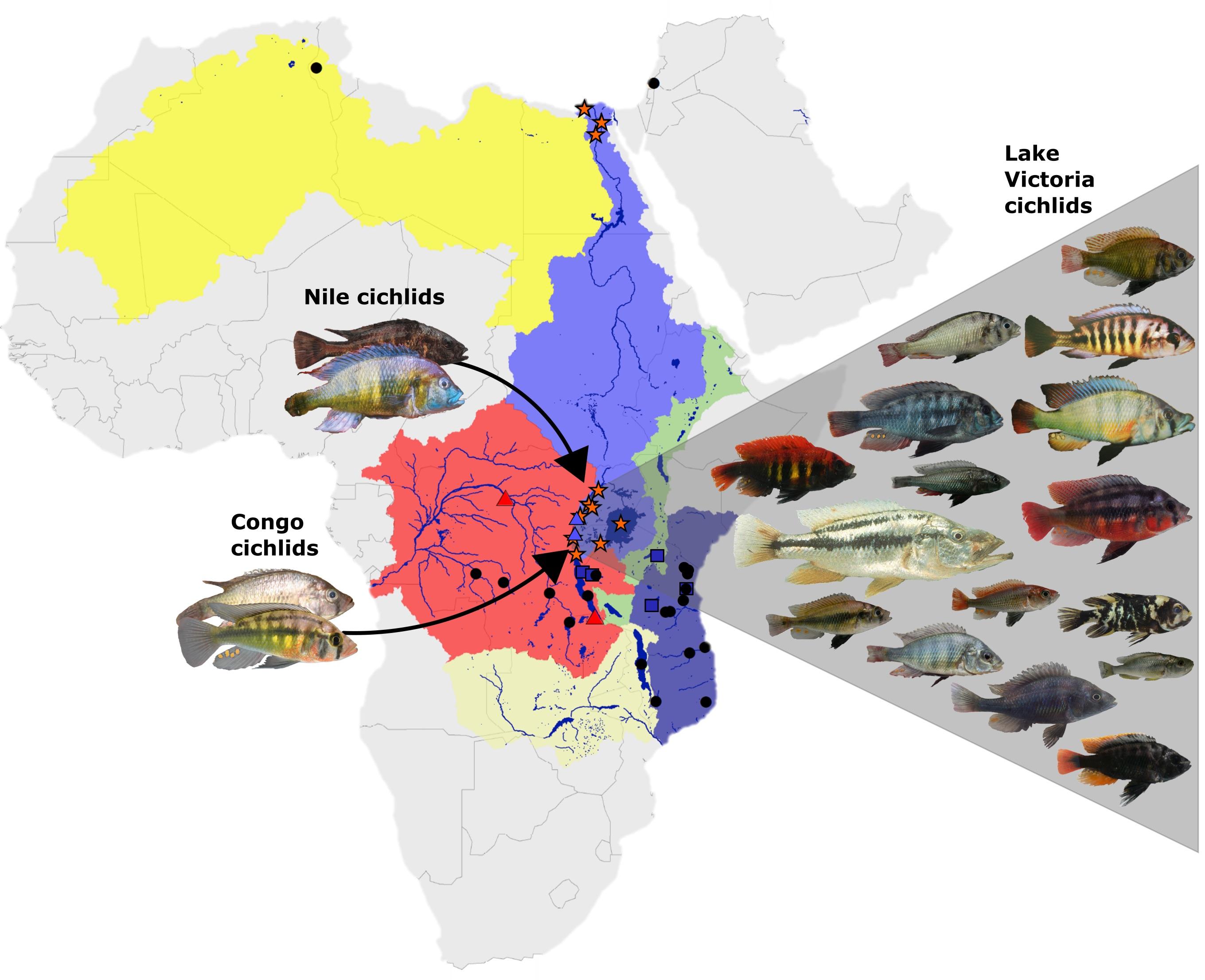 Die Flusssysteme rund um den Viktoriasee und die beiden ursprünglichen Vorfahren aus dem Nil- und dem Kongo-Einzugsgebiet sowie ein Teil der rund 700 aus ihnen hervorgegangenen Arten, 500 davon allein im Viktoriasee. Grafik: Eawag.
