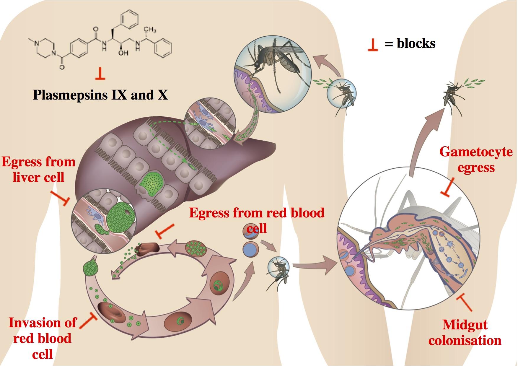 Illustration des Zyklus von Plasmodien und Stelle, an der die «Parasitenfalle» wirkt. © Universität Bern.