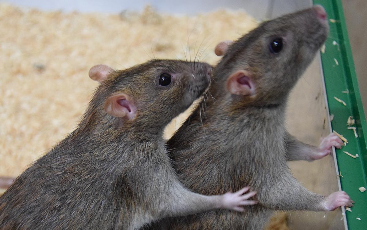 Eine Ratte hilft der anderen, ihr Fell am Nacken von Salzwasser zu säubern. © Institut für Ökologie und Evolution