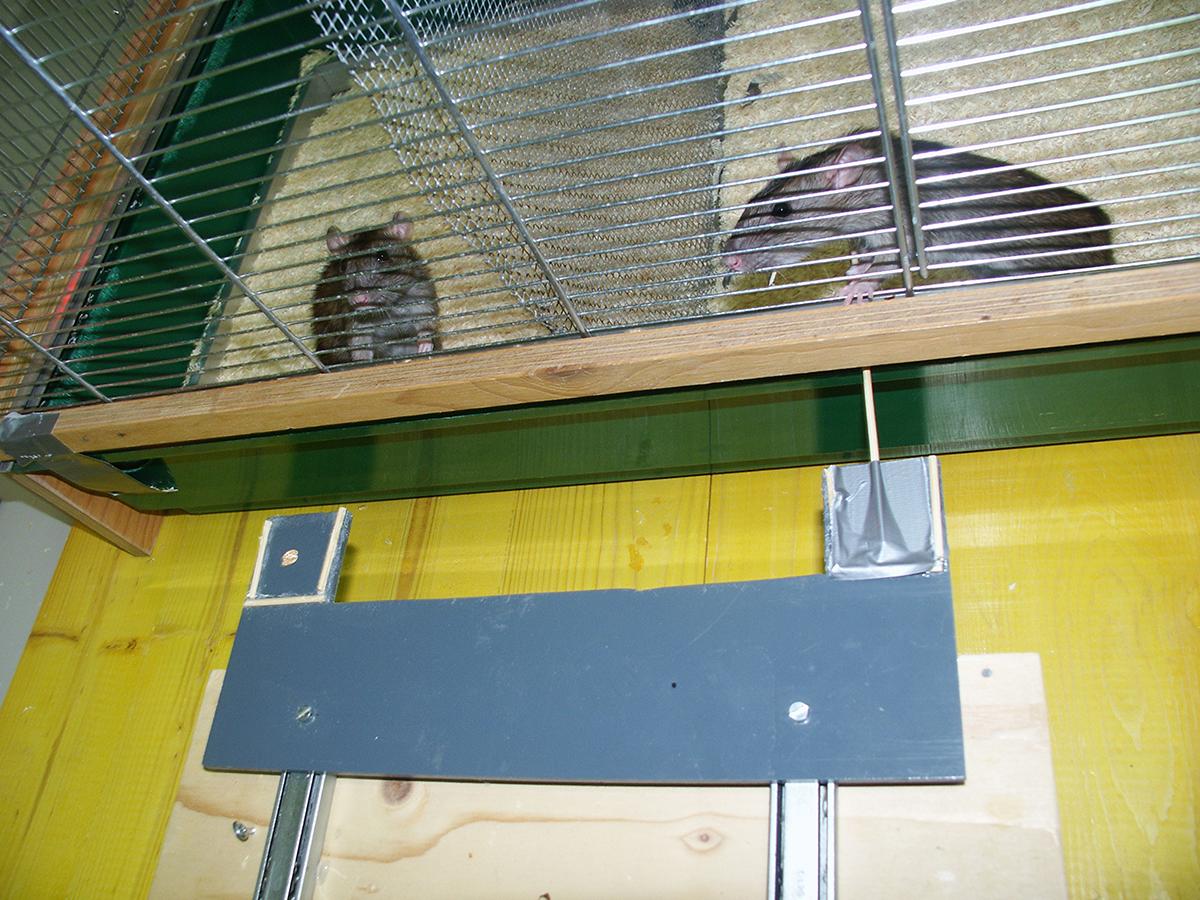 Eine Ratte zieht Futter für ein anderes Tier im Käfig dahinter heran. Sie hilft vor allem Tieren, die ihr vorher auch geholfen haben. © Institut für Ökologie und Evolution, Universität Bern