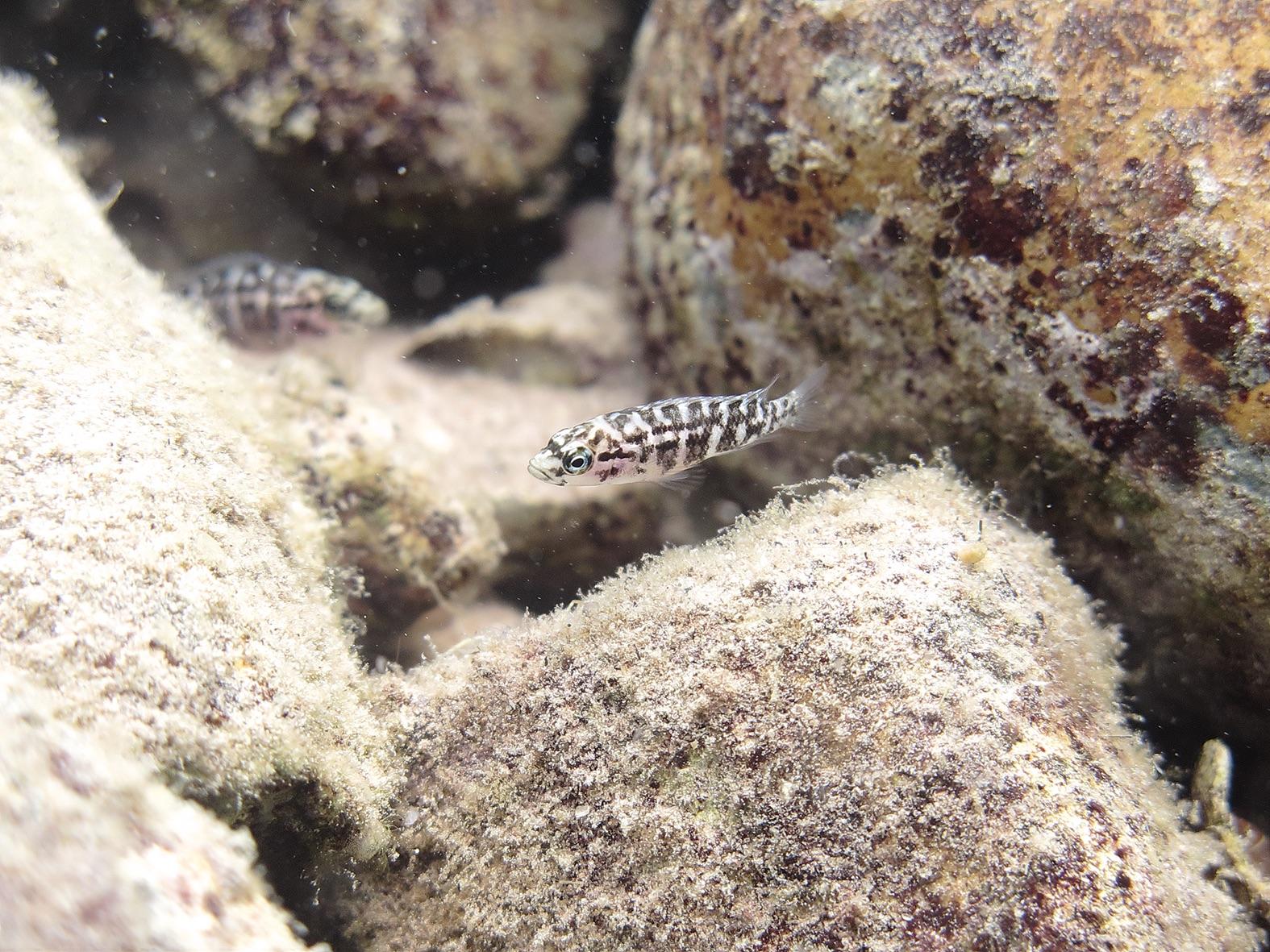 Helferfische von Neolamprologus obscurus bei ihrem Nest. © Hirokazu Tanaka, Universität Bern