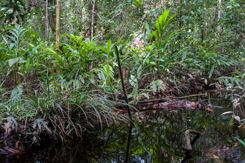 Ein Torfsumpfwald Habitat in Sarawak, Borneo, wo Paedocypris micromegethes vorkommt. Foto: Lukas Rüber.