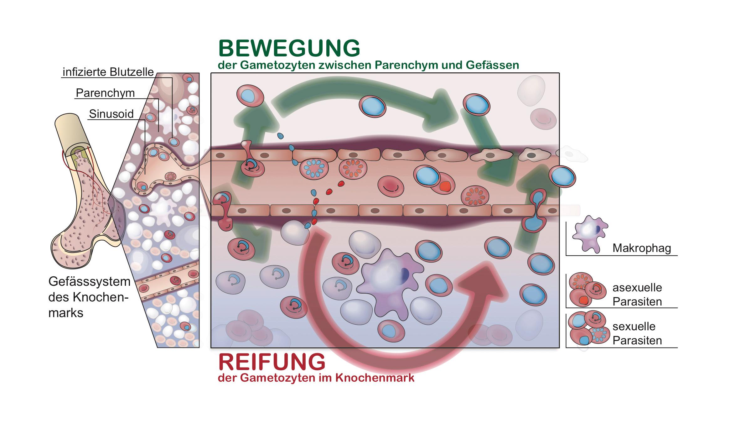 Blutzellen, die mit blau gekennzeichneten, geschlechtlichen Parasitenformen infiziert sind, verlas-sen die Blutgefässe (Sinusoide) und wandern vornehmlich ins Gewebe (Parenchym) des Kno-chenmarks ein, während die Blutzellen, die mit den rot gekennzeichneten Parasiten infiziert sind, im Blutgefäss zirkulieren oder and die Gefässwand anheften. Die Makrophagen im Parenchym versorgen die infizierten Zellen zusätzlich mit Nährstoffen und ermöglichen ihnen eine optimale Entwicklung zu reifen Gametozyten. Diese bewegen sich dann zwischen dem Gewebe und den Blutgefässen. © Nicolas Brancucci, TPHI Basel