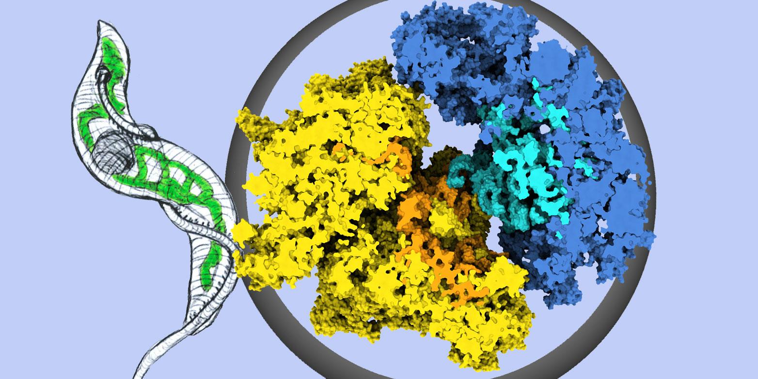 Struktur des Ribosoms aus Mitochondrien des SchlafkrankheitserregersTrypanosoma brucei. Gelb: Proteine der grossen Untereinheit. Orange: RNA-Moleküle der kleinen Untereinheit. Dunkelblau: Proteine der grossen Grosse Untereinheit; hellblau: RNA-Moleküle der grossen Untereinheit. Grafik:Gruppe Prof. Nenad Ban / ETH Zürich