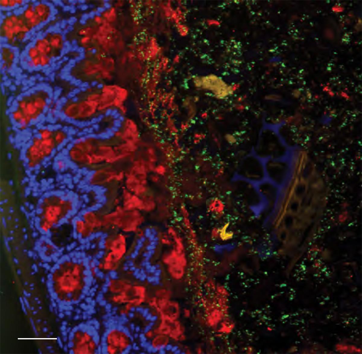 Schleimschicht (rot) hält Escherichia coli (grün) in sicherem Abstand vom Epithel, der Zellschicht der Darmwand, und verhindert, dass sie in darunterliegendes Gewebe durchdringen. Daher ist die Schleimschicht wichtig als Schutz vor Infektionen und Entzündungen.  © Bahtiyar Yilmaz, Universität Bern