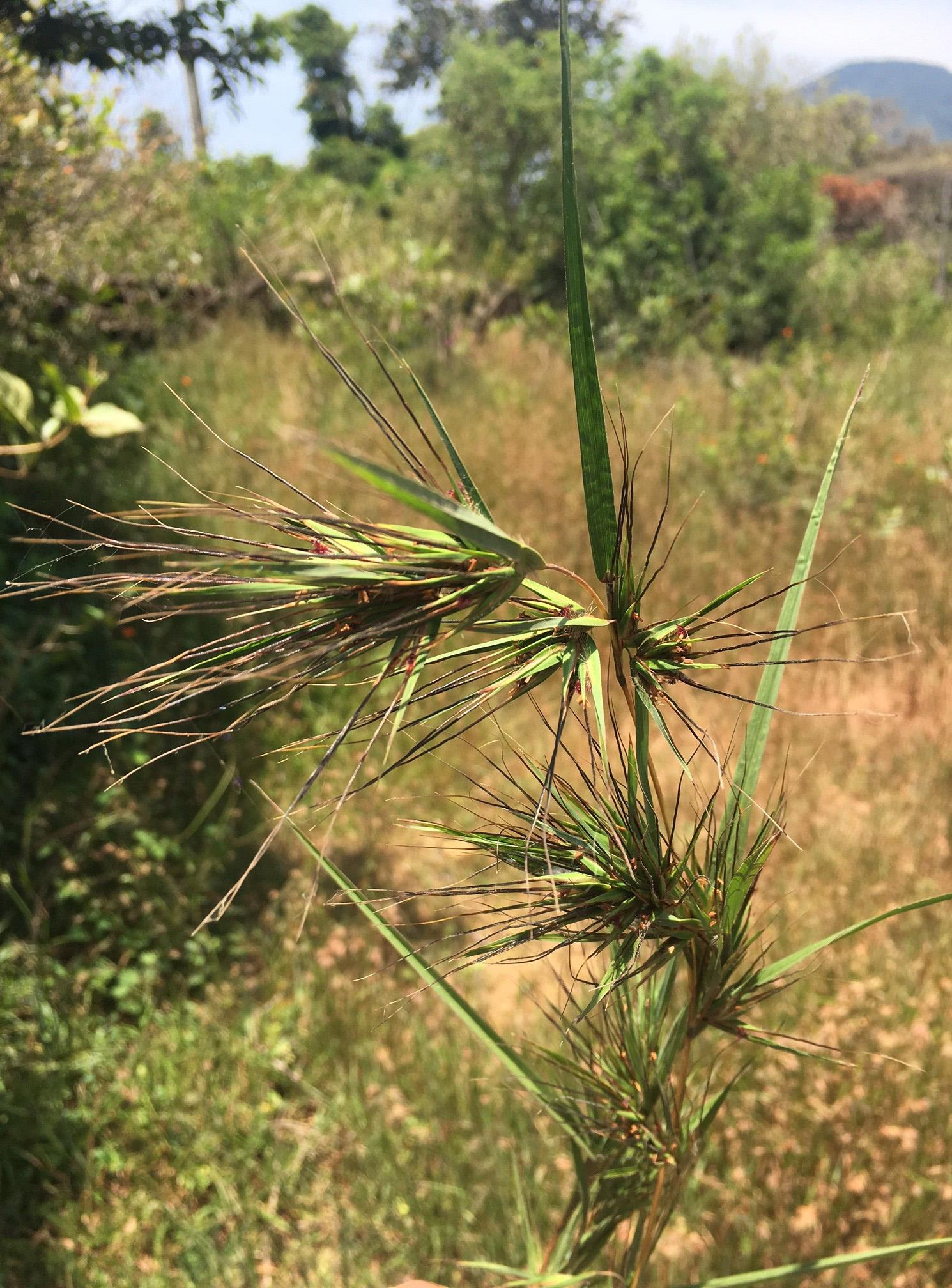 Blütenstand von Themeda triandra in einer bewaldeten Savanne in Sri Lanka. Die Studie zeigte, dass zwei Genfragmente von T. Triandra in das Genom von A. semialata-Populationen (Bild 1) integriert wurden. © PA Christin & LT Dunning