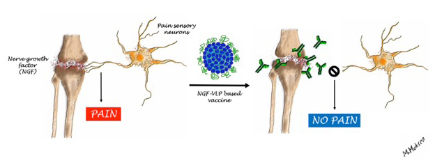 Figures illustrating the effect of the vaccine and the induced antibodies on NGF. Copyright: M. Mohsen, University of Bern