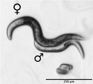 Two specimens of Mesorhabditis belari nematodes. © Marie DELATTRE/LBMC/CNRS Photo library