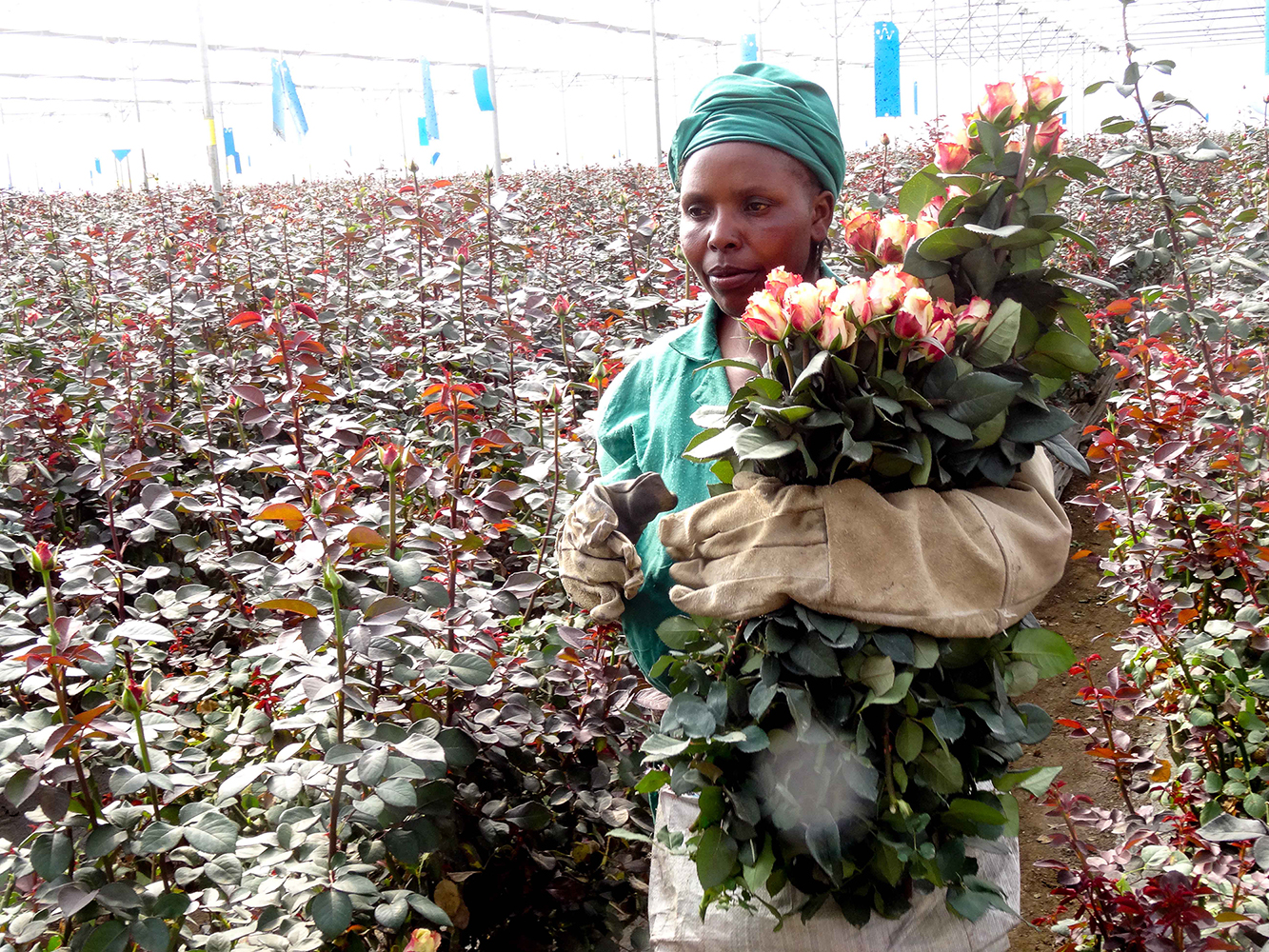Rosenfarm in Kenia. Foto: Markus Giger, CDE