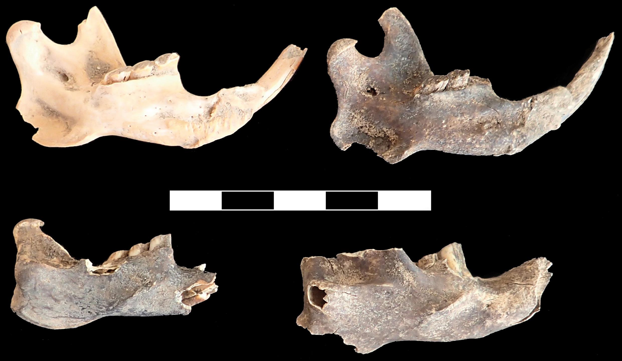 In den Middle Stone Age-Schichten gefundene Unterkiefer der in der afroalpinen Zone endemischen Riesenmaulwurfsratte (Tachyoryctes macrocephalus), der Hauptnahrungsquelle der prähistorischen Bewohner der Bale Mountains. Bild: Götz Ossendorf