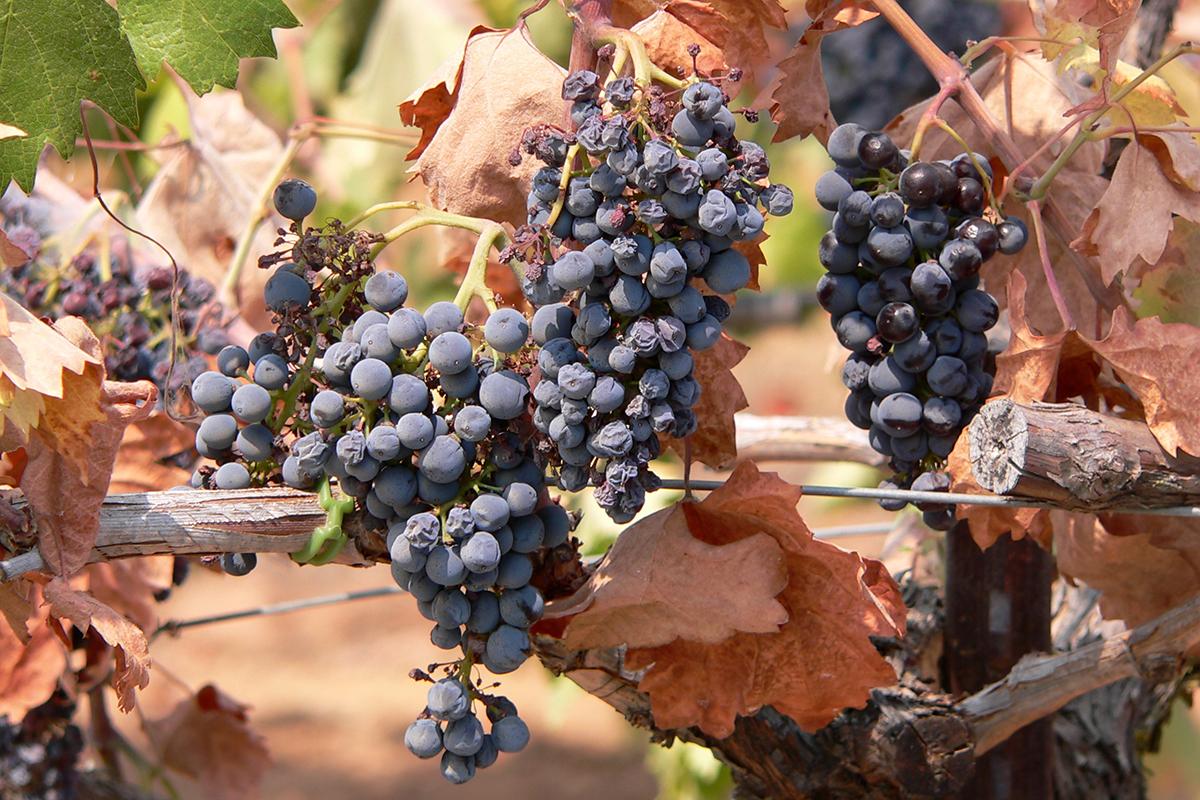 Dehydrierte Weintrauben.