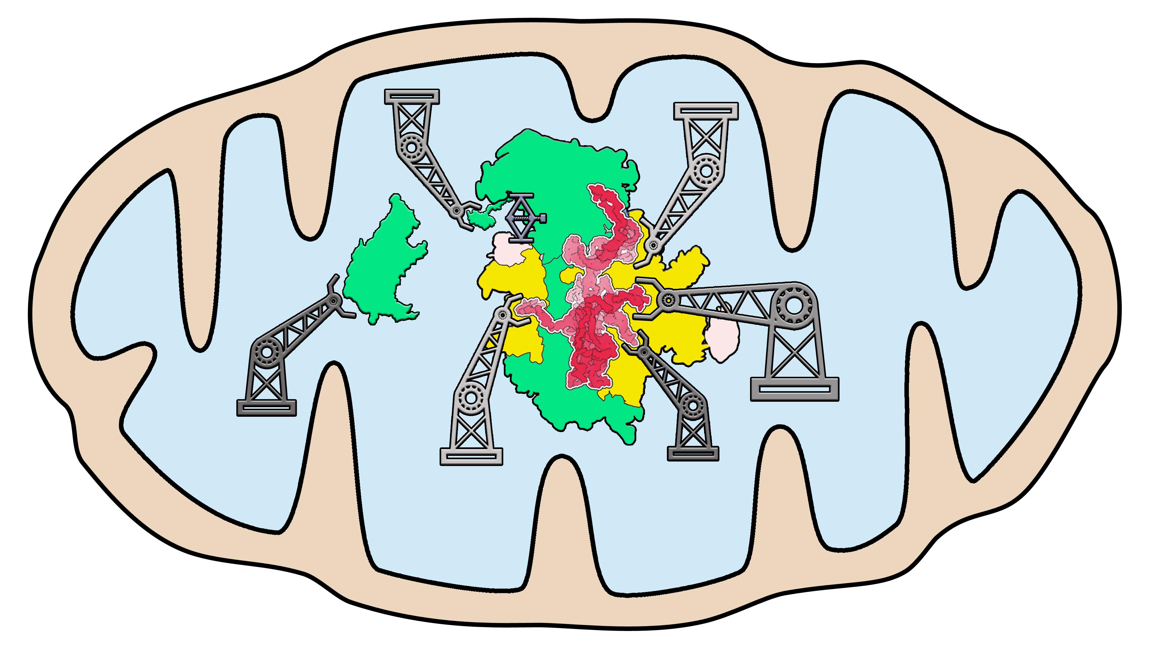 Modell des Montageprozesses von Mitorobosomen  im Parasiten Trypanosoma brucei.   Grafik: NCCR RNA & Disease